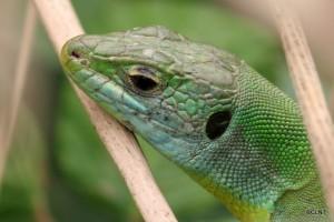 Llangardaix verd (Lacerta bilineata)