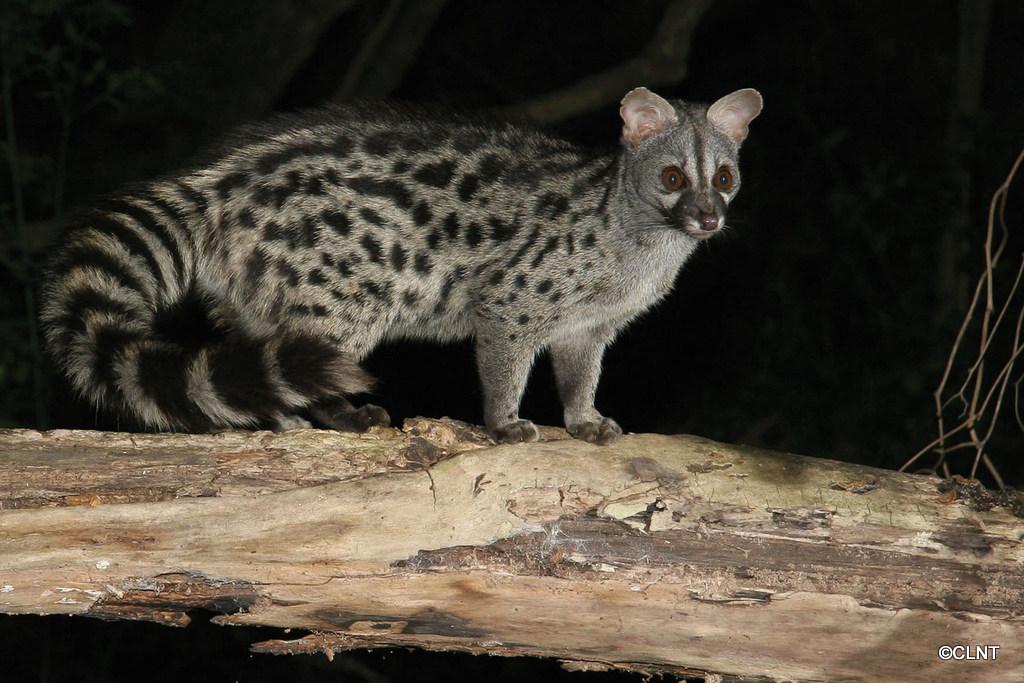 Geneta o gat mesquer (Genetta genetta)