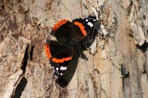 Papallona reina (Vanessa atalanta)