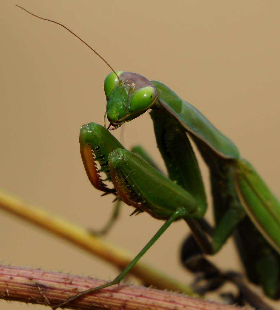 Pregadéu (Mantis religiosa)