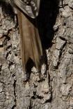 Cua forcada, amb els raquis de les plomes timoneres gruixuts i durs.