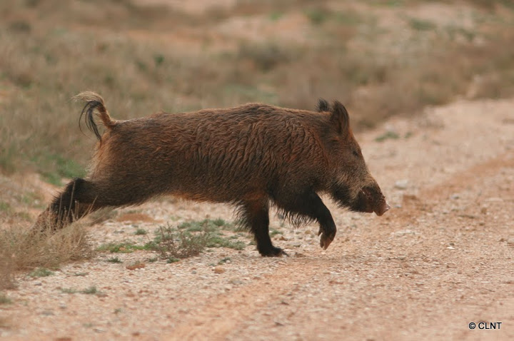 Porc senglar (Sus scrofa)